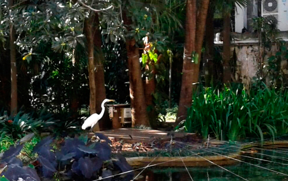 Graça-branca